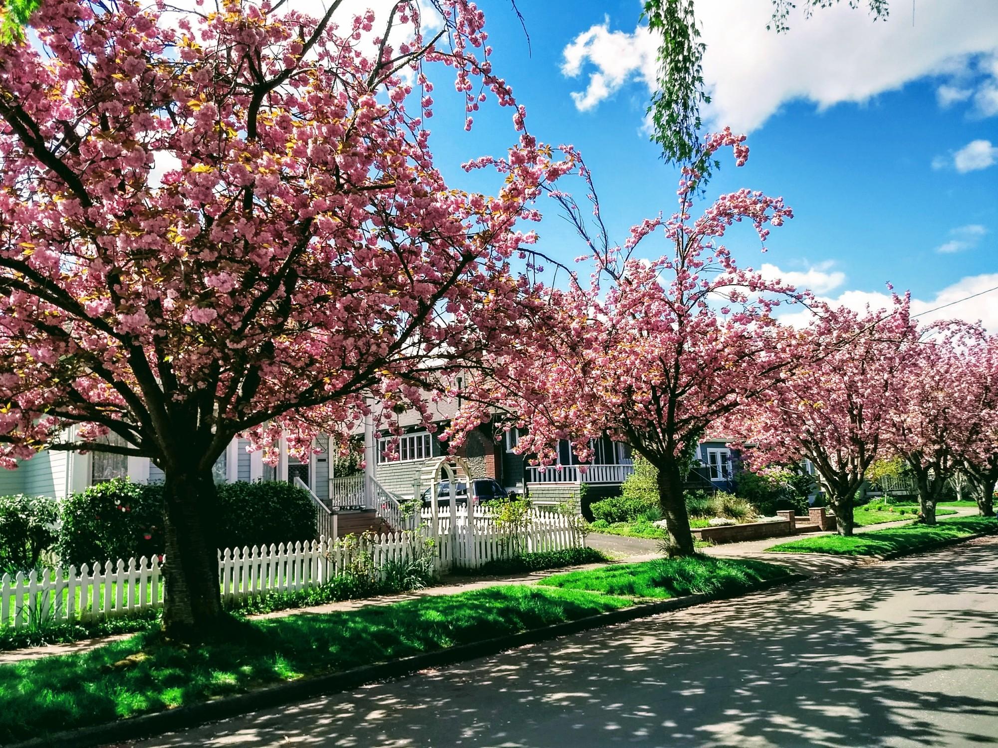 Blooming trees pink portland Oregon Sunnyside neighborhood tree lined street