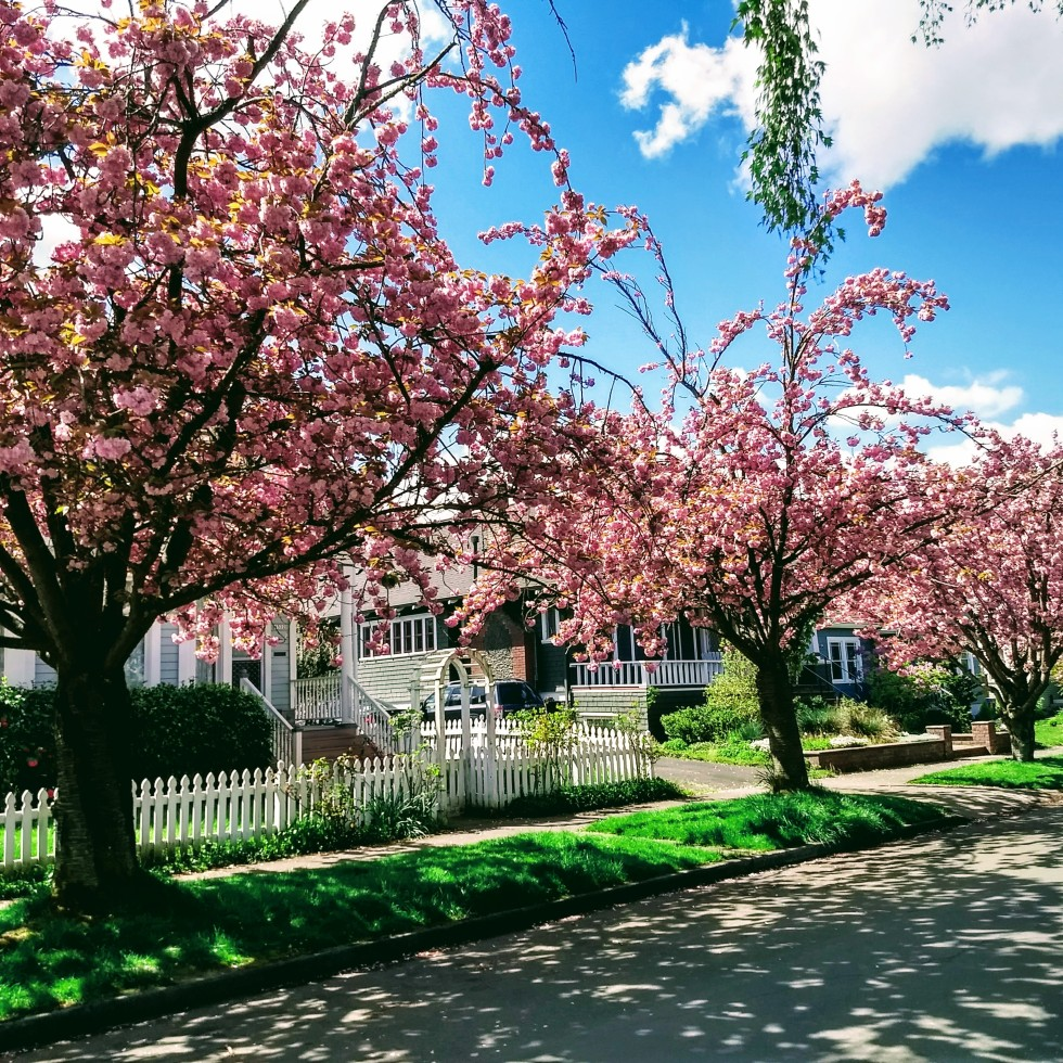 Blooming trees pink portland Oregon Sunnyside neighborhood tree lined street