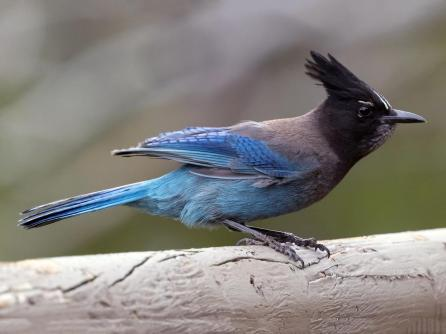 Steller's Jay (Photo by To