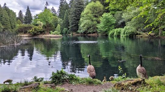 Geese at Laurelhurst Park's lake